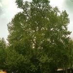 درخت رحمت – کرمانشاه