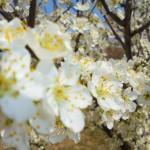 شکوفه های بهاری روستای برگه/عکس