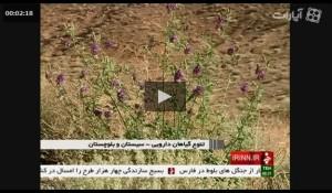 ویدیو گیاهان دارویی در سیستان و بلوچستان