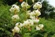 گل سوسن چلچراغ روستای داماش گیلان